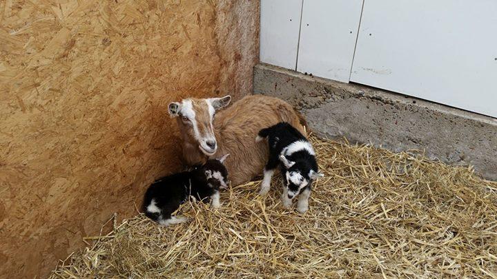 De geitjes zijn geboren